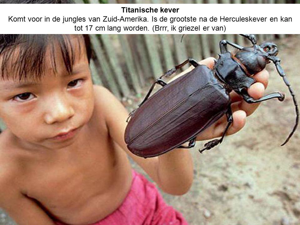 Titanische kever Komt voor in de jungles van Zuid-Amerika.