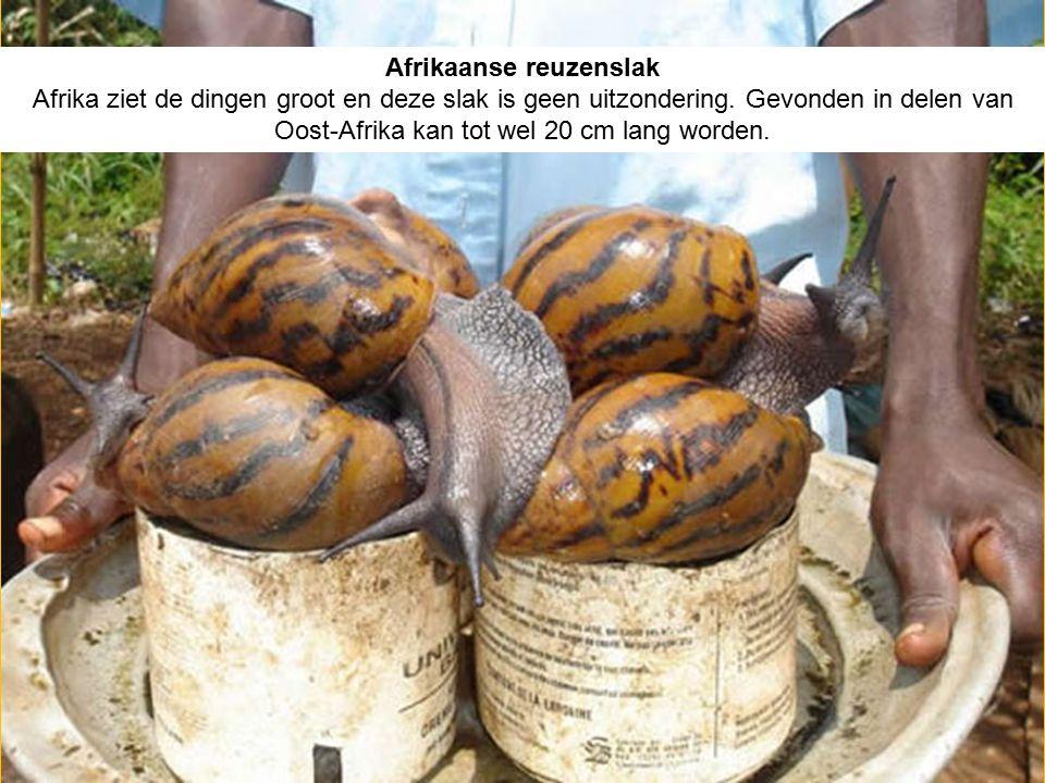 Afrikaanse reuzenslak