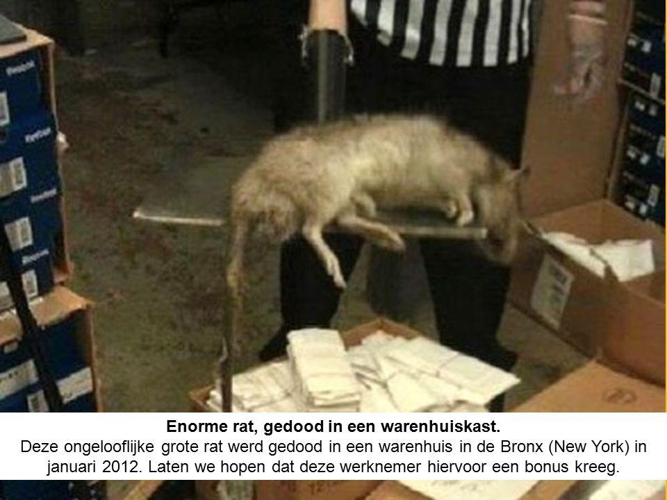 Enorme rat, gedood in een warenhuiskast.