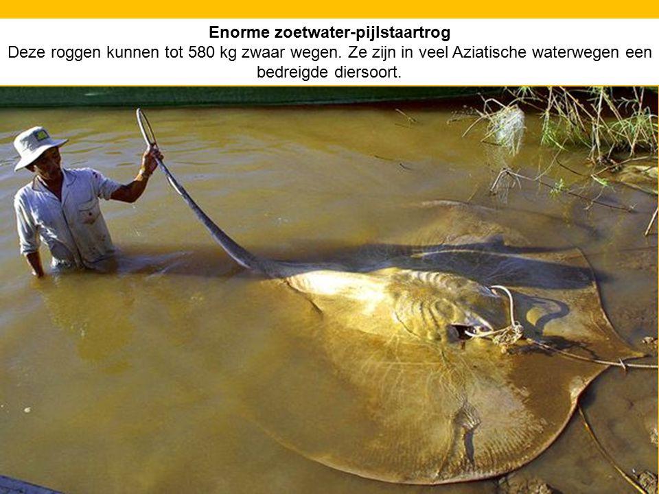 Enorme zoetwater-pijlstaartrog