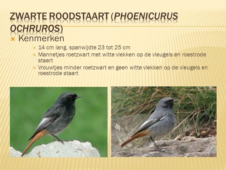 Zwarte roodstaart (Phoenicurus ochruros)