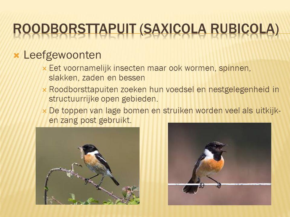 roodborsttapuit (Saxicola rubicola)