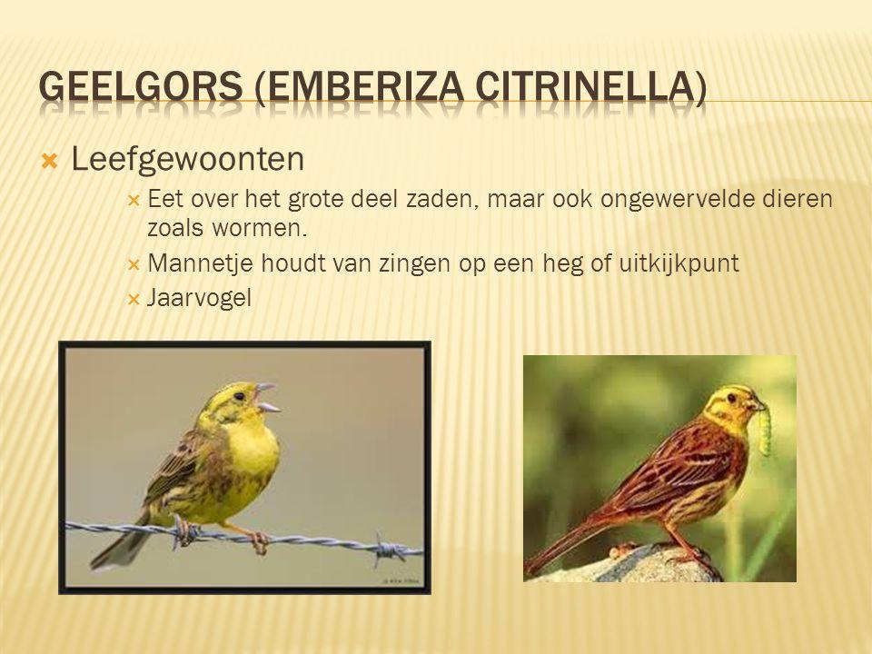 geelgors (Emberiza citrinella)