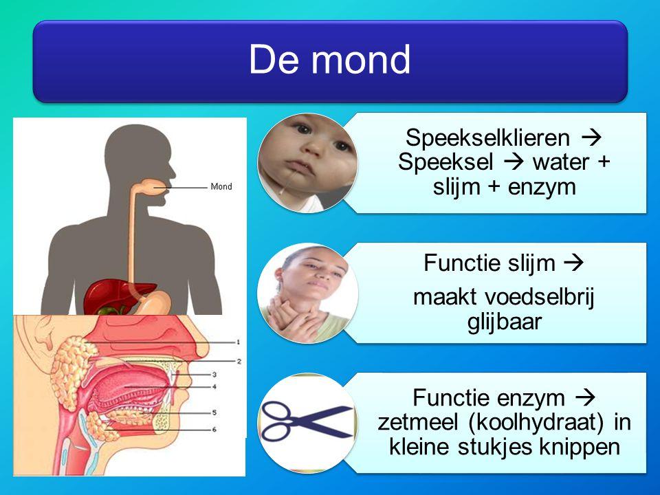 De mond Speekselklieren  Speeksel  water + slijm + enzym