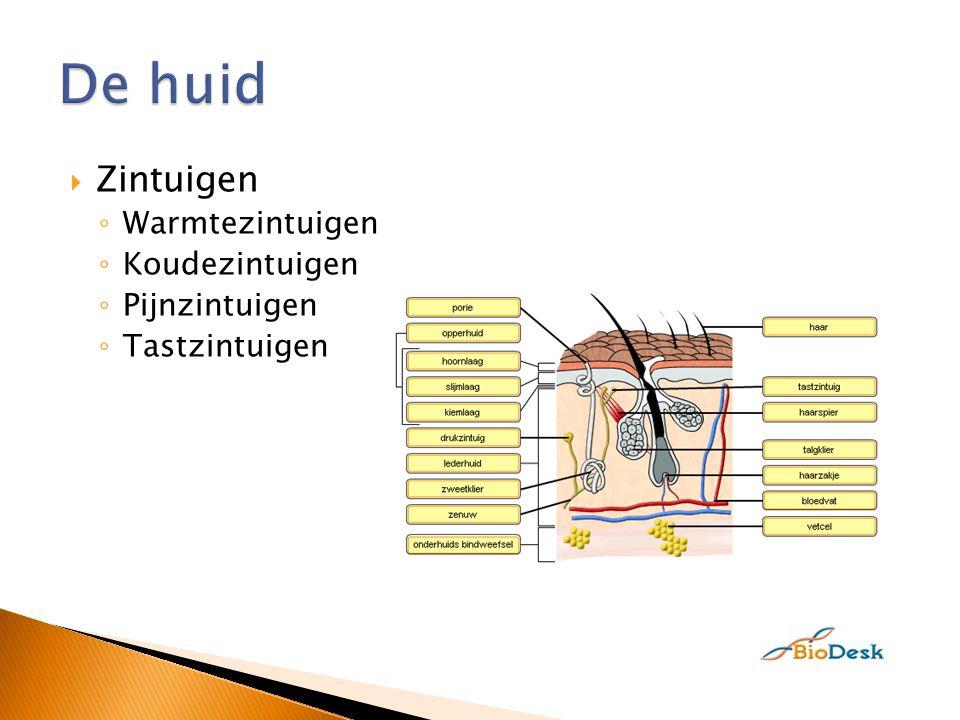 De huid Zintuigen Warmtezintuigen Koudezintuigen Pijnzintuigen