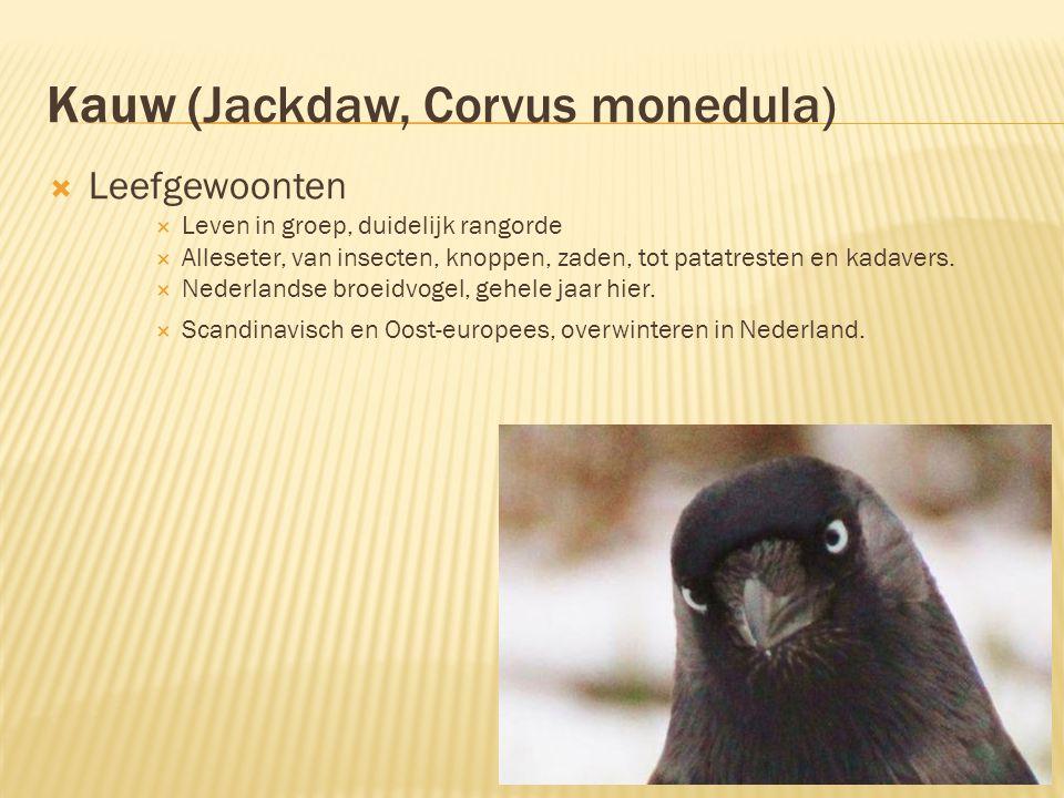 Kauw (Jackdaw, Corvus monedula)