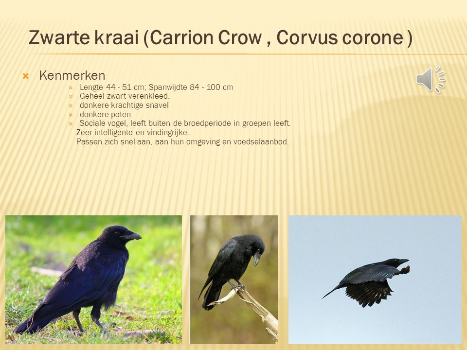 Zwarte kraai (Carrion Crow , Corvus corone )