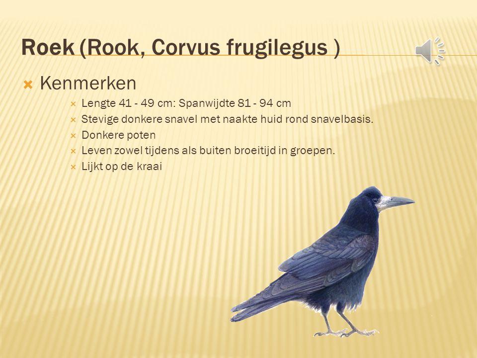 Roek (Rook, Corvus frugilegus )