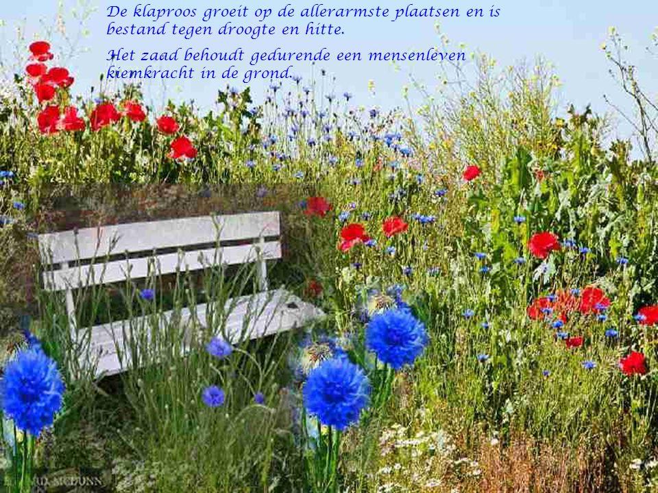 De klaproos groeit op de allerarmste plaatsen en is bestand tegen droogte en hitte.