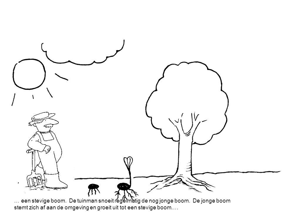 … een stevige boom. De tuinman snoeit regelmatig de nog jonge boom