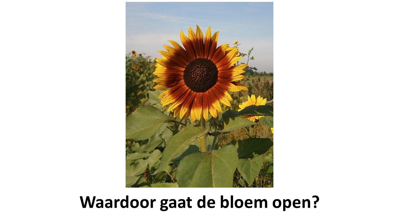Waardoor gaat de bloem open