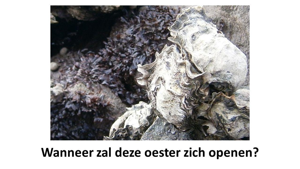 Wanneer zal deze oester zich openen