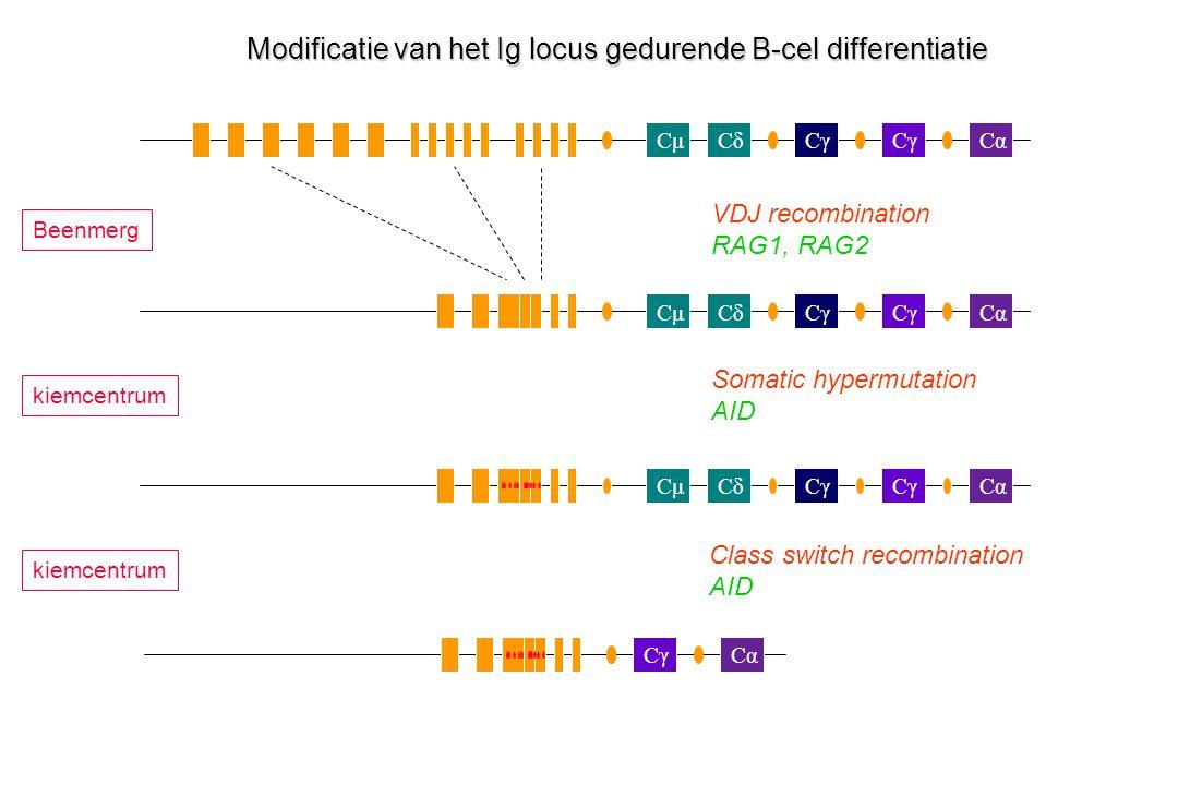 Modificatie van het Ig locus gedurende B-cel differentiatie