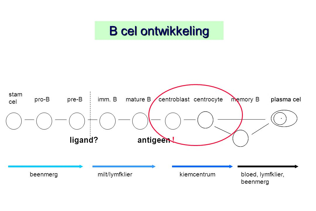 B cel ontwikkeling ligand antigeen ! stam cel pro-B pre-B imm. B