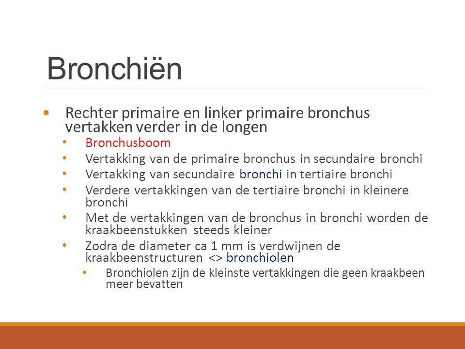 Bronchiën Rechter primaire en linker primaire bronchus vertakken verder in de longen. Bronchusboom.
