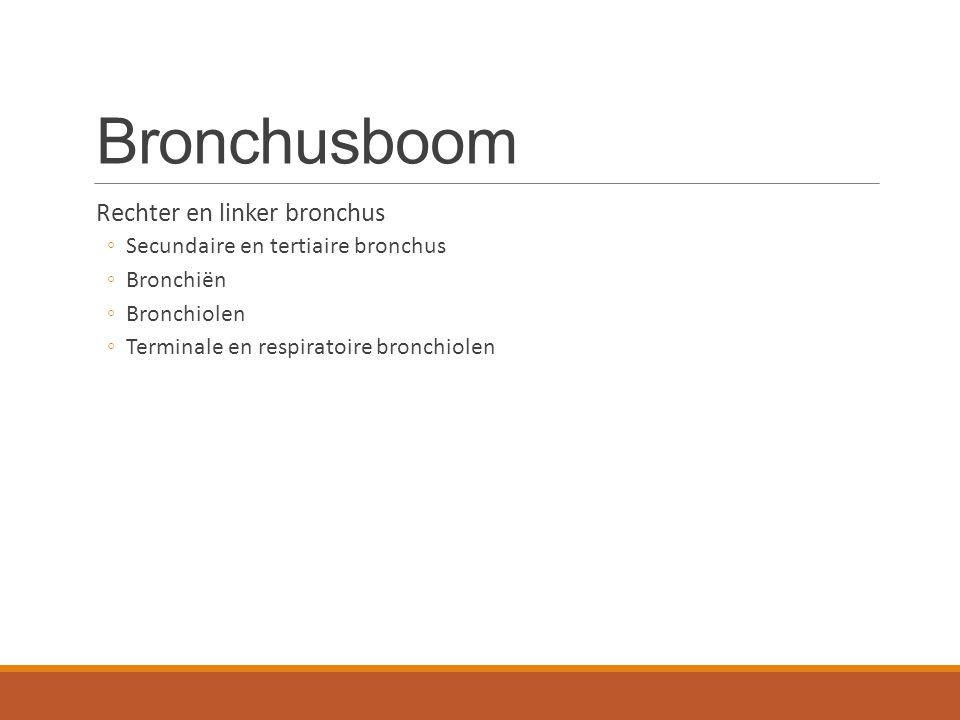 Bronchusboom Rechter en linker bronchus