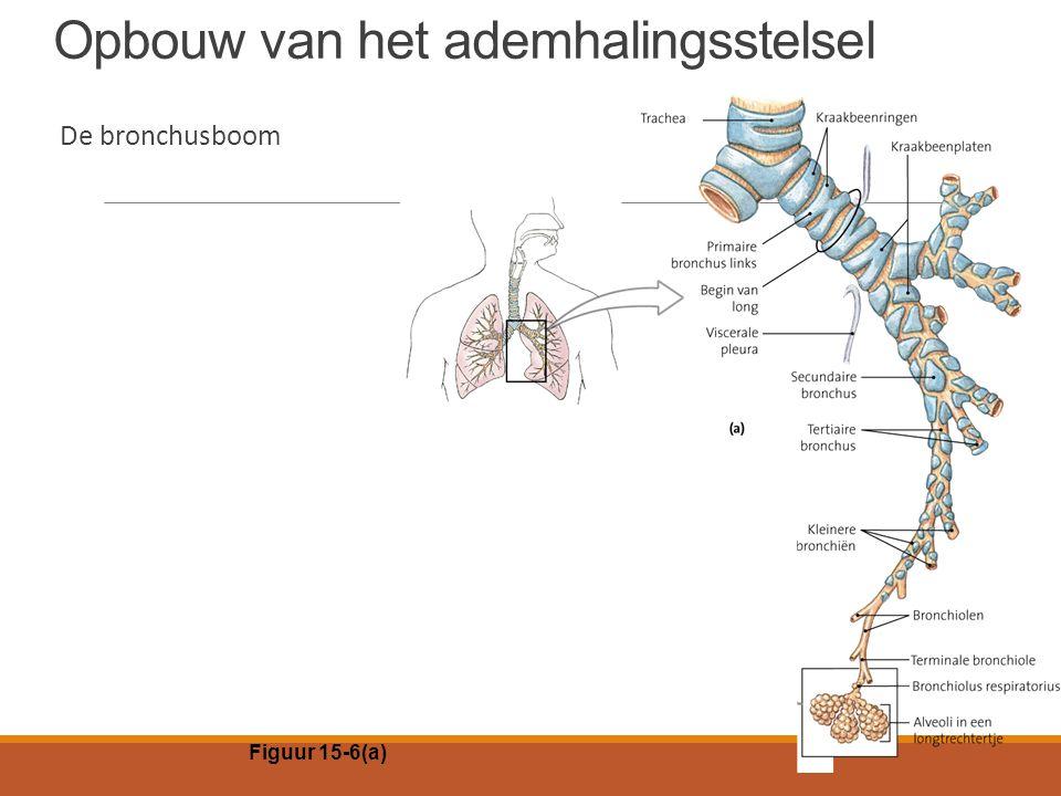 Opbouw van het ademhalingsstelsel