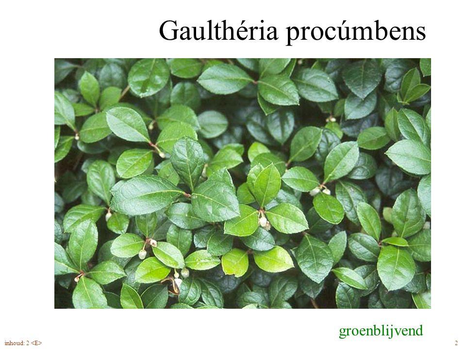 Gaulthéria procúmbens