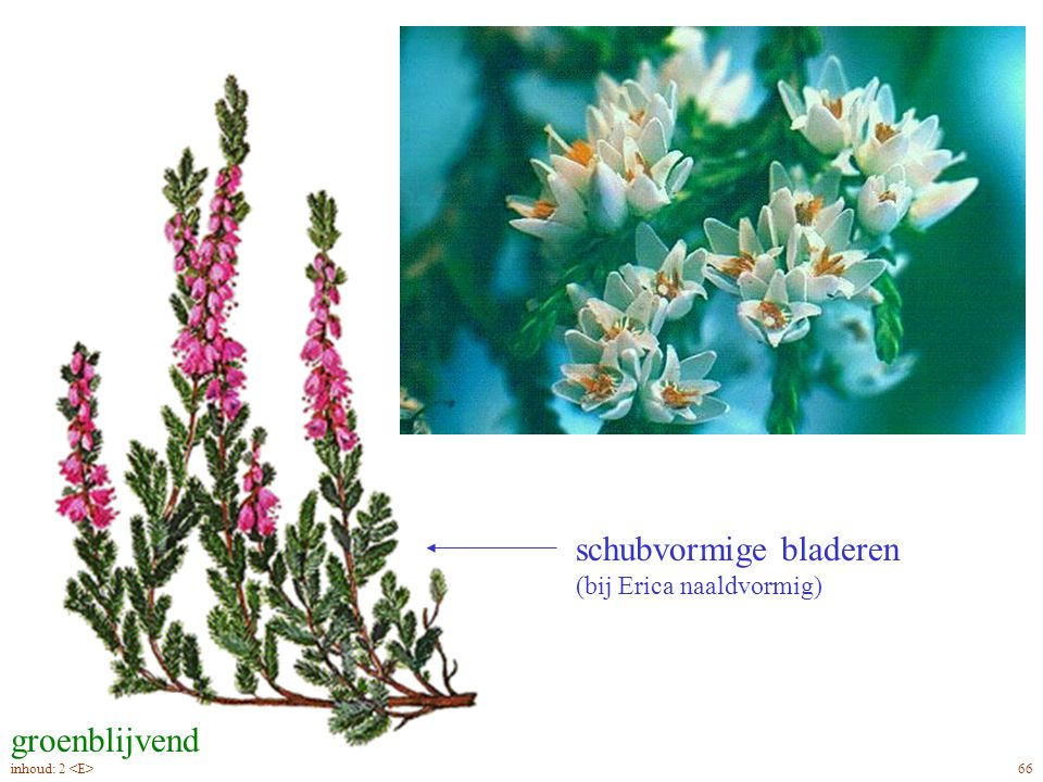 Callúna vulgáris blad, bloei