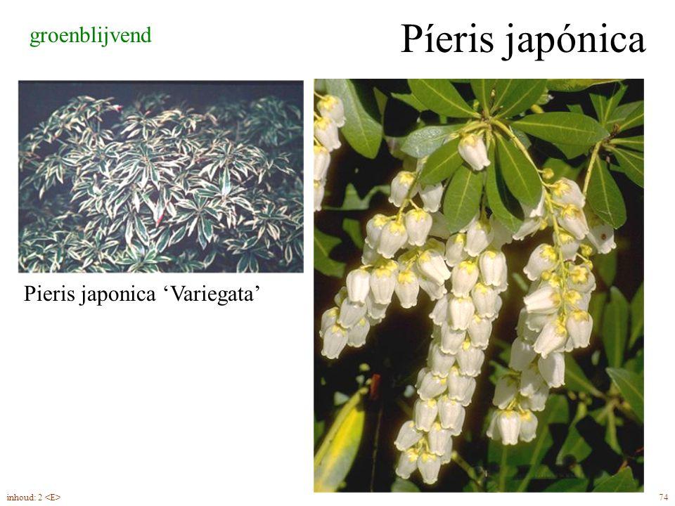 Píeris japónica groenblijvend Pieris japonica 'Variegata'
