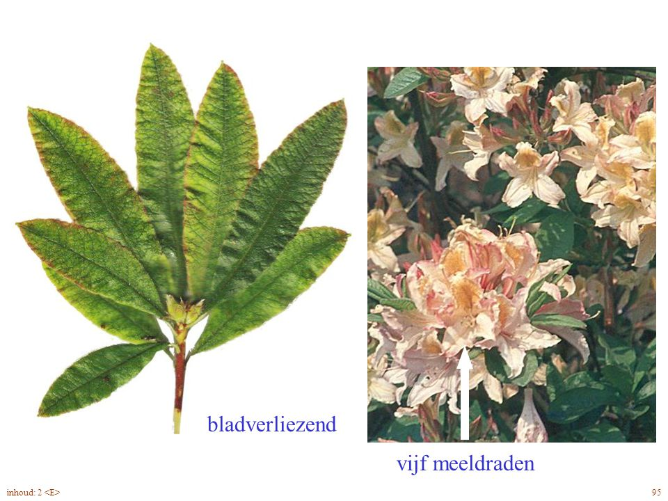 Rhododendron Jap. blad, bloei