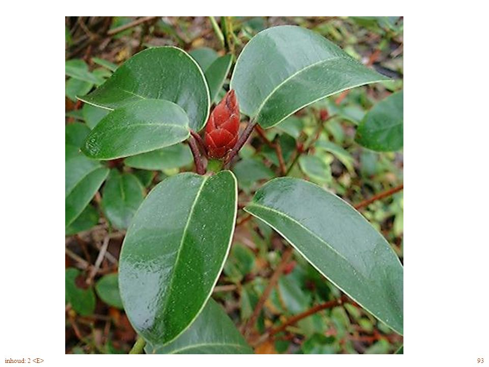 Rhododendron Will. blad