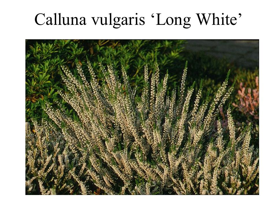 Calluna vulgaris 'Long White'