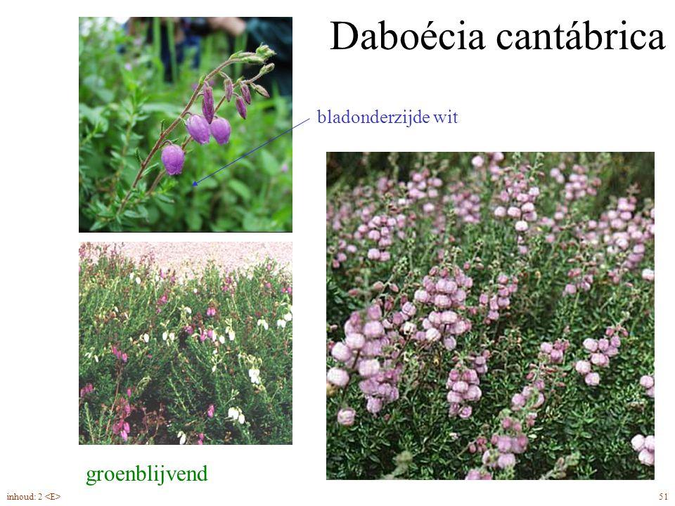 Daboécia cantábrica groenblijvend bladonderzijde wit
