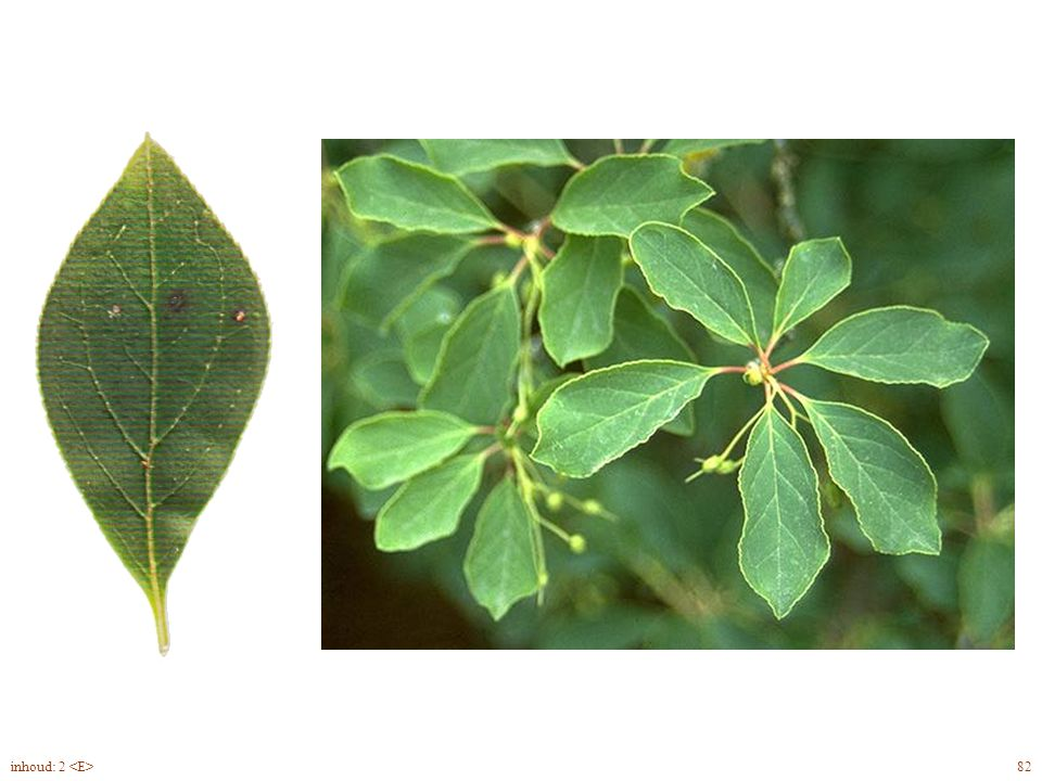 Enkianthus campanulatus blad