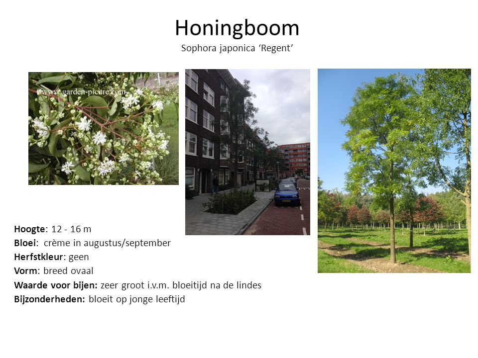 Honingboom Sophora japonica 'Regent'
