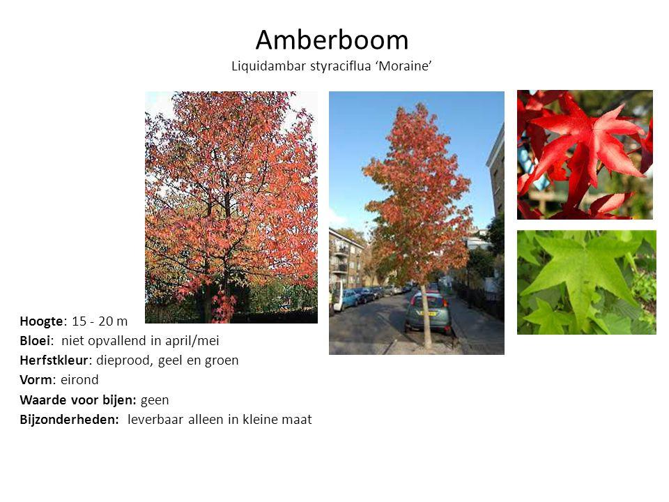 Amberboom Liquidambar styraciflua 'Moraine'