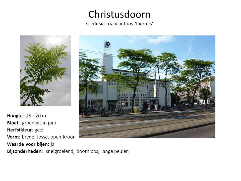 Christusdoorn Gleditsia triancanthos 'Inermis'