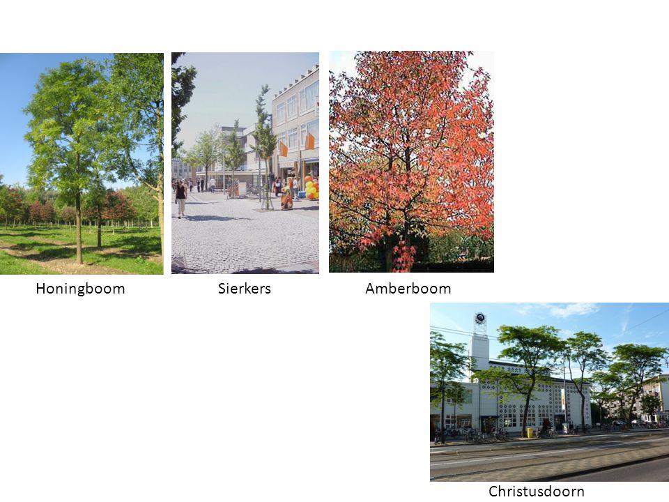 Honingboom Sierkers Amberboom Christusdoorn