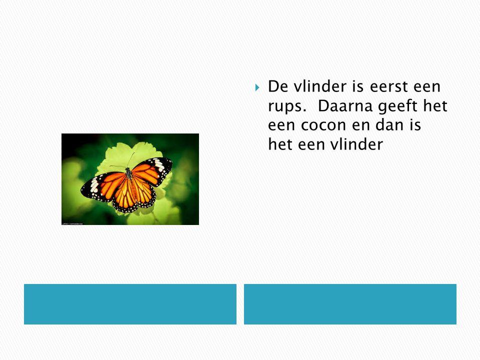 De vlinder is eerst een rups