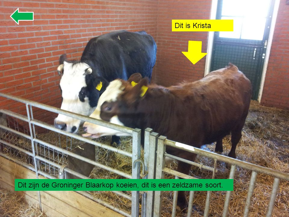 Dit is Krista Dit zijn de Groninger Blaarkop koeien, dit is een zeldzame soort.