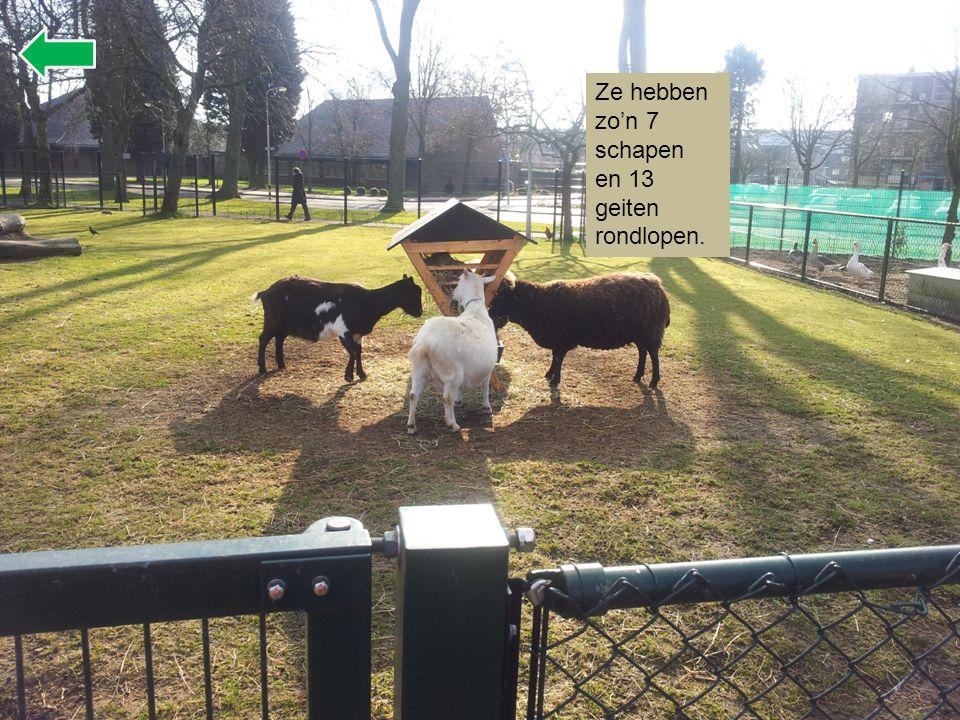 Ze hebben zo'n 7 schapen en 13 geiten rondlopen.