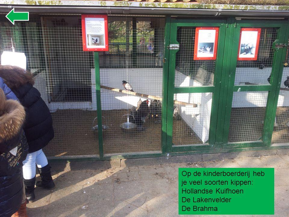 Op de kinderboerderij heb je veel soorten kippen: Hollandse Kuifhoen
