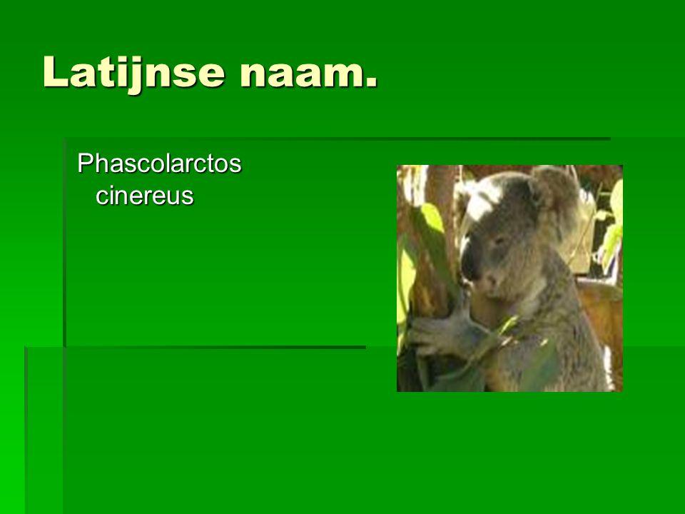 Latijnse naam. Phascolarctos cinereus