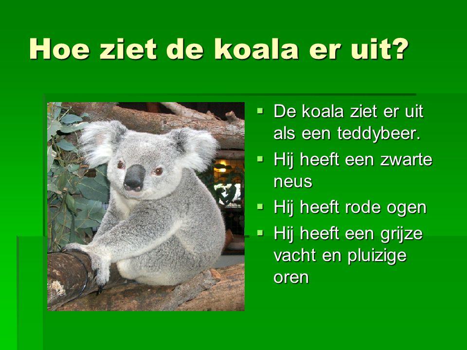 Hoe ziet de koala er uit De koala ziet er uit als een teddybeer.