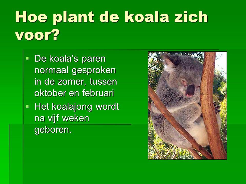 Hoe plant de koala zich voor