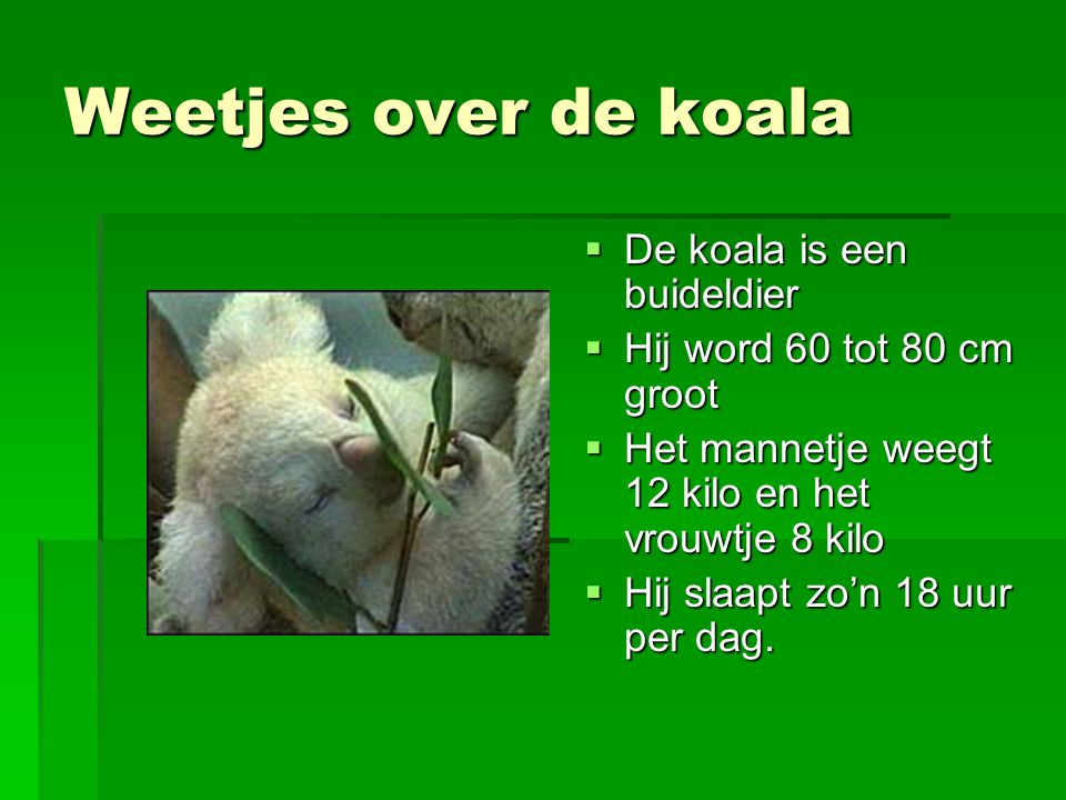Weetjes over de koala De koala is een buideldier