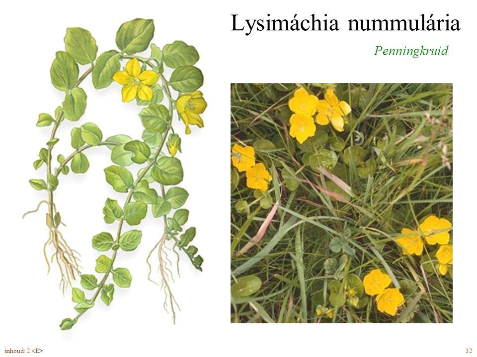 Lysimáchia nummulária