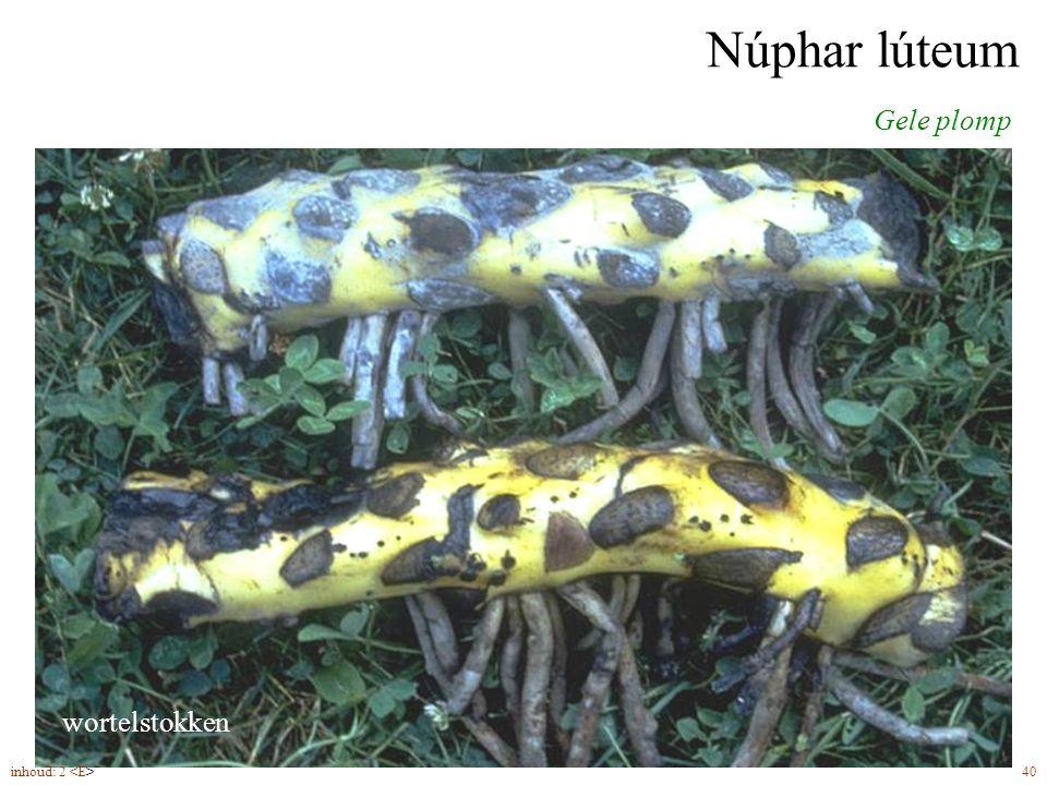 Núphar lúteum Gele plomp bloemen (5-8)