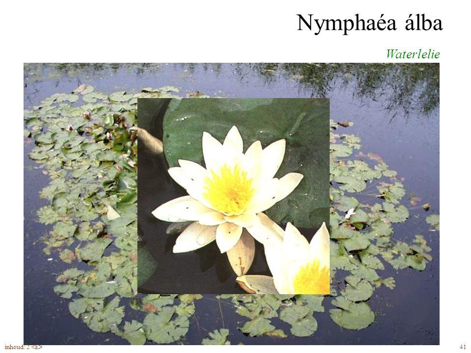 Nymphaéa álba Waterlelie bloemen (5-8)