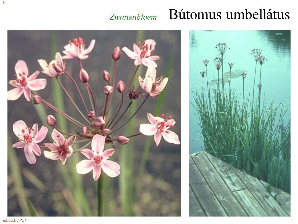 Bútomus umbellátus Zwanenbloem bloemen (6-7) in schermen