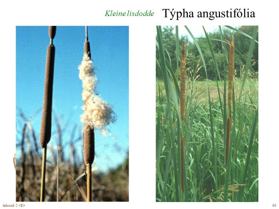 Týpha angustifólia Kleine lisdodde mannelijke bloeiwijze (7-8)
