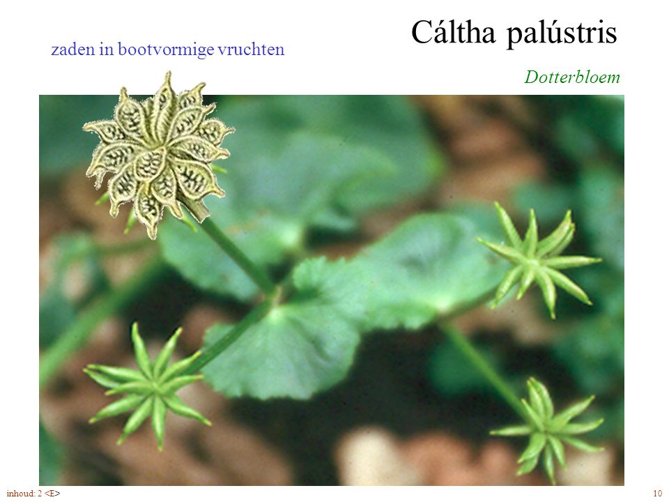 Cáltha palústris zaden in bootvormige vruchten Dotterbloem