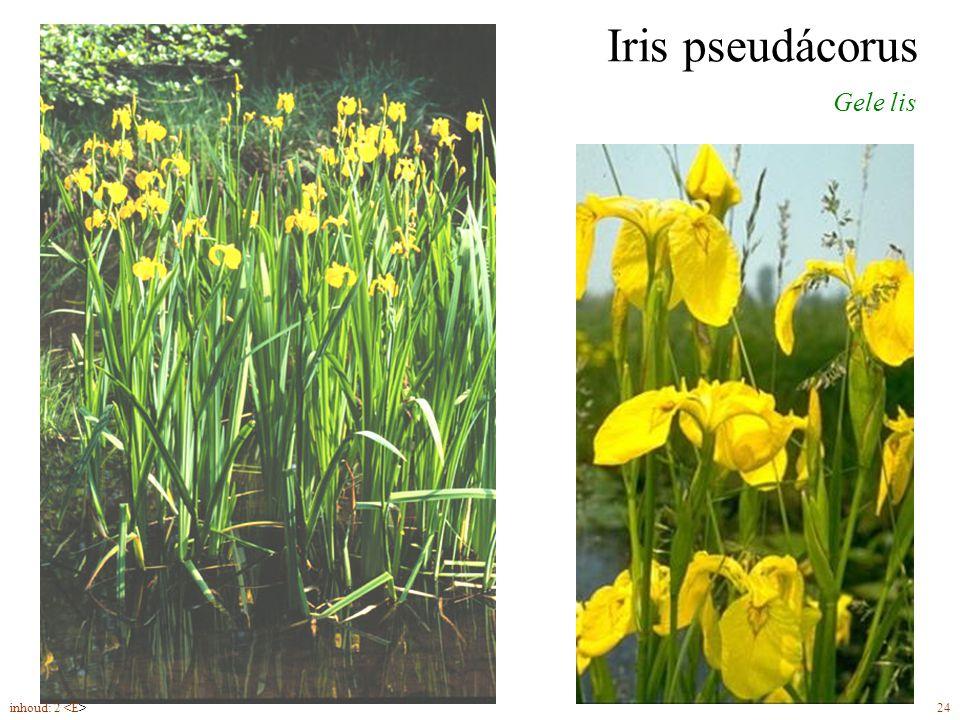 Iris pseudácorus Gele lis