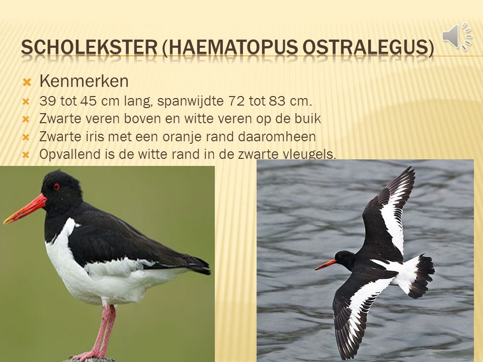 Scholekster (Haematopus Ostralegus)