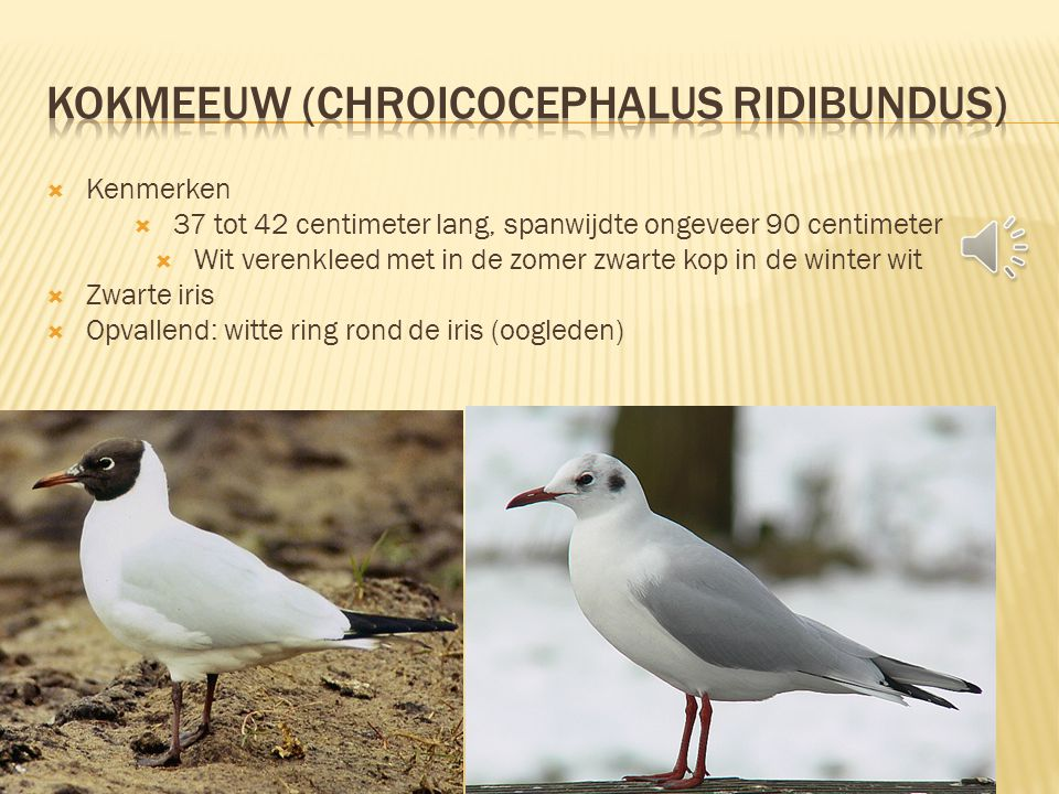 Kokmeeuw (Chroicocephalus ridibundus)
